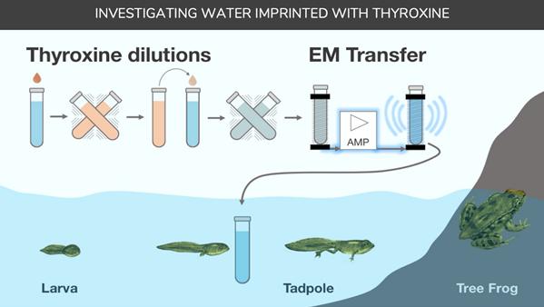 Thyroxine imprinted water